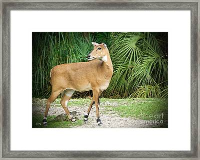 The Nilgai Pose Framed Print by Judy Kay