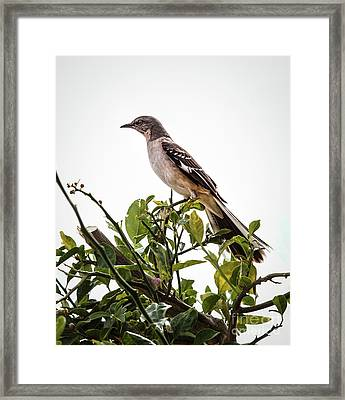 The Northern Mockingbird Framed Print