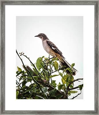 The Northern Mockingbird Framed Print