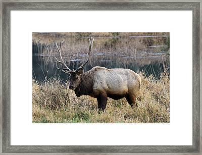 The Old Bull Framed Print