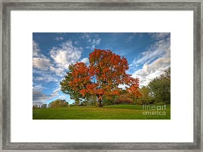 The Old Maple Framed Print by Mircea Costina Photography