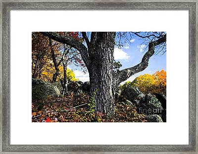 The Old Oak Tree Framed Print by Jim  Calarese