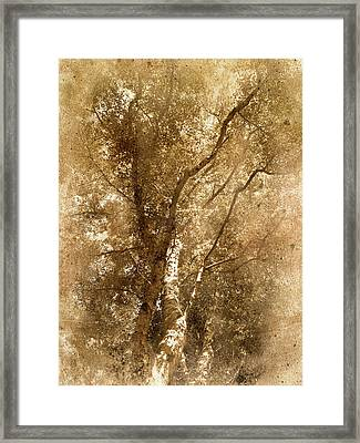 The Old Silver Birch Framed Print