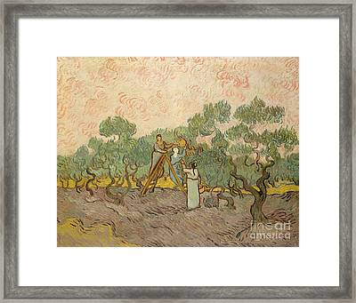 The Olive Pickers, Saint-remy, 1889 Framed Print