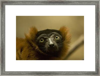 The Omaha Zoos Red Ruffed Lemur Varecia Framed Print by Joel Sartore