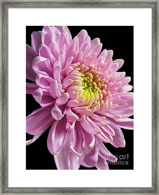 The One And Only Dahlia  Framed Print