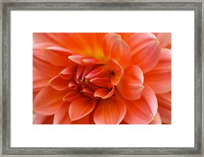 The Opening Of A Dahlia Framed Print by Sonja Anderson