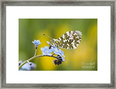 The Orange Tip Butterfly Framed Print by Tim Gainey