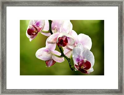 The Orchid Framed Print by Karen M Scovill