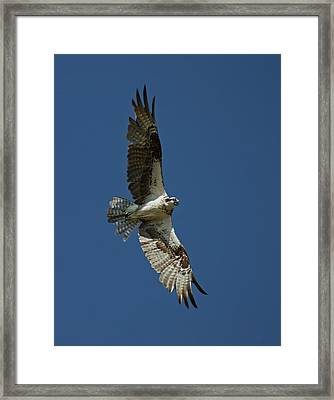 The Osprey Framed Print by Ernie Echols