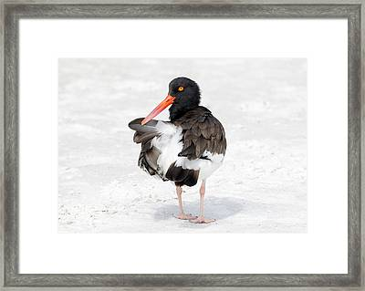 Framed Print featuring the photograph The Oystercatcher by Phil Stone