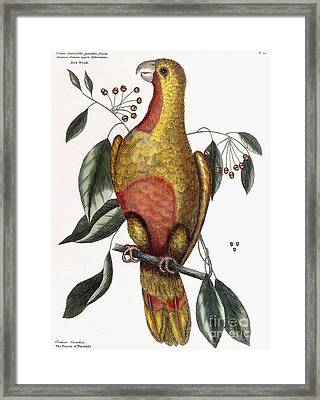 The Parrot Of Paradise, Psitticus Paradisis Framed Print by Mark Catesby
