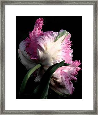 The Parrot Tulip Queen Of Spring Framed Print