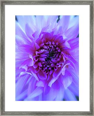 The Passionate Dahlia Framed Print