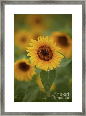 The Patch Of Sunflowers Framed Print