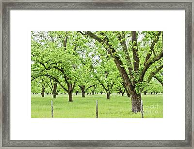 The Pecan Orchard In The Spring Framed Print