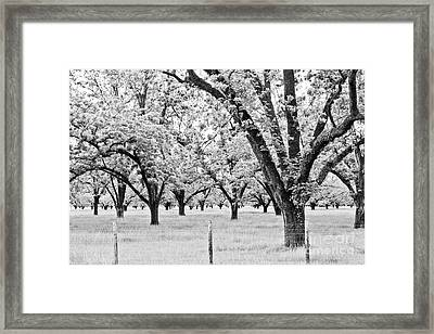 The Pecan Orchard - Bw Framed Print