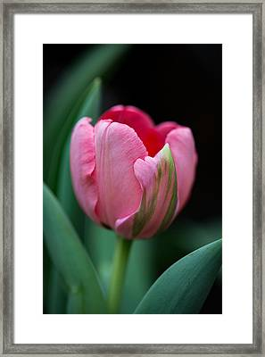 The Peculiar Pink Tulip Framed Print by Dale Kincaid