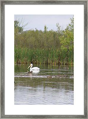 Framed Print featuring the photograph The Pelican And The Ducklings by Alyce Taylor