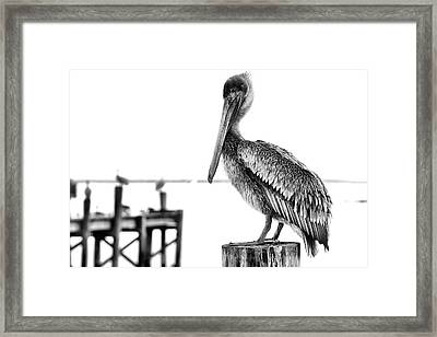 The Pelican In Black And White Framed Print by JC Findley