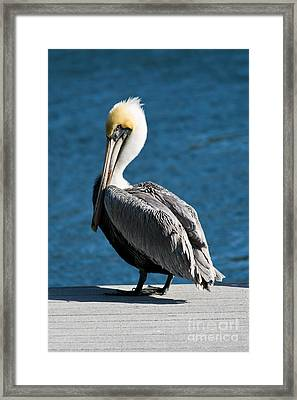 The Pelican Framed Print by Steven Gray