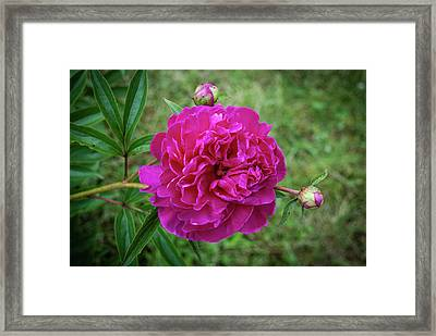 Framed Print featuring the photograph The Peonie by Mark Dodd
