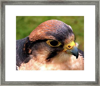 The Peregrine Framed Print by Stephen Melia