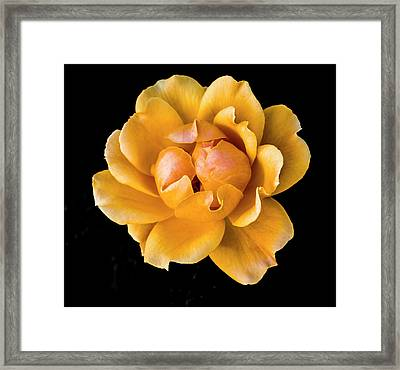 The Perfect Rose Framed Print by Venetia Featherstone-Witty