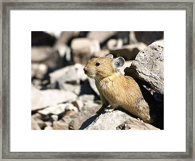 The Pika Framed Print