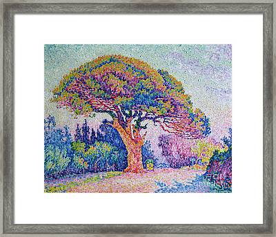 The Pine Tree At Saint Tropez Framed Print by Paul Signac