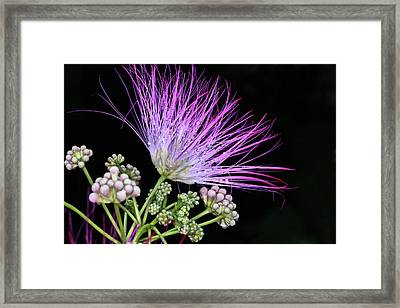 The Pink Mimosa Flower Framed Print