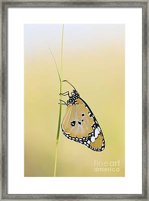 The Plain Tiger Butterfly  Framed Print by Tim Gainey