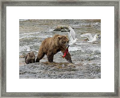 Framed Print featuring the photograph The Plight Of The Sockeye by Cheryl Strahl