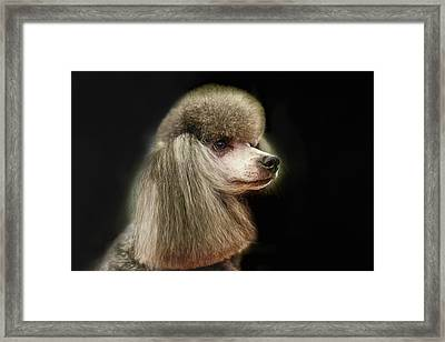 The Poodle Is A Breed Of Dog, One Of The Most Common Breeds In The Present. Framed Print