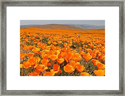 The Poppy Fields - Antelope Valley Framed Print by Peter Tellone
