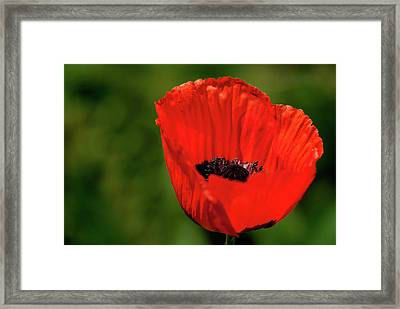 The Poppy Next Door Framed Print