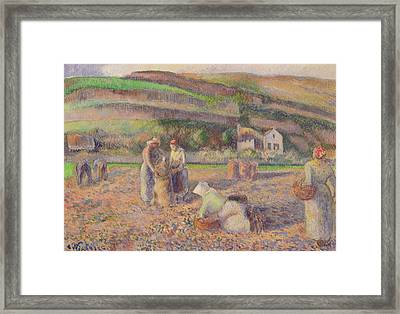 The Potato Harvest Framed Print by Camille Pissarro