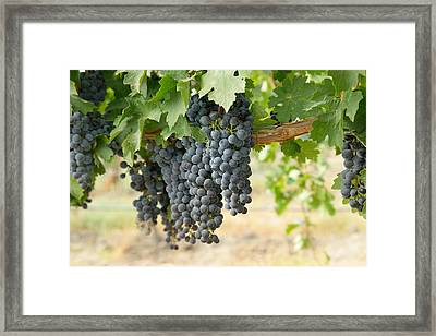 The Promise Of New Wine Framed Print by Jeff Swan