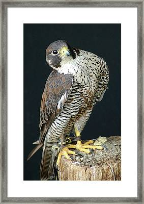 The Proud Falcon Framed Print