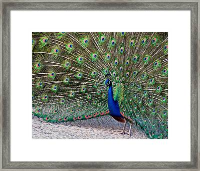 Framed Print featuring the photograph The Proud Peacock by Thanh Thuy Nguyen