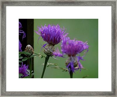 The Purple Bloom Framed Print