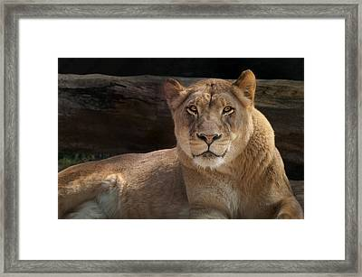 The Queen - A Lioness Watches You Framed Print