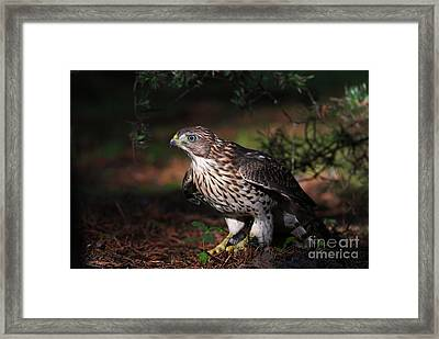 The Raptor Framed Print by Mircea Costina Photography