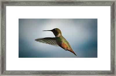 The Rare Green Backed Male Rufous Hummingbird Framed Print