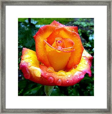 The Red Gold Rose Framed Print by Will Borden