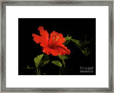The Red Hibiscus Framed Print