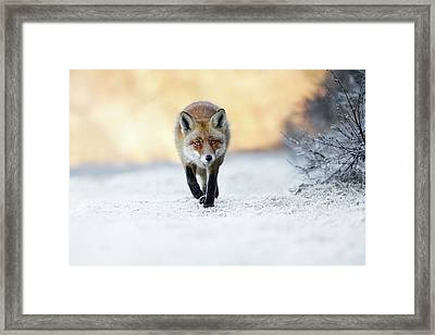 The Red, White And Blue - Red Fox In The Snow Framed Print by Roeselien Raimond