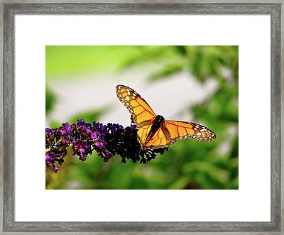 The Resting Monarch Framed Print