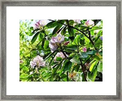 The Rhododendrons Are In Bloom Framed Print by Susan Savad