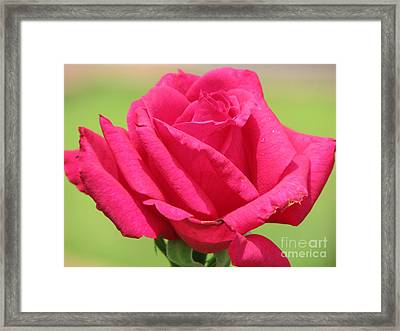 The Rose Framed Print by Amanda Barcon